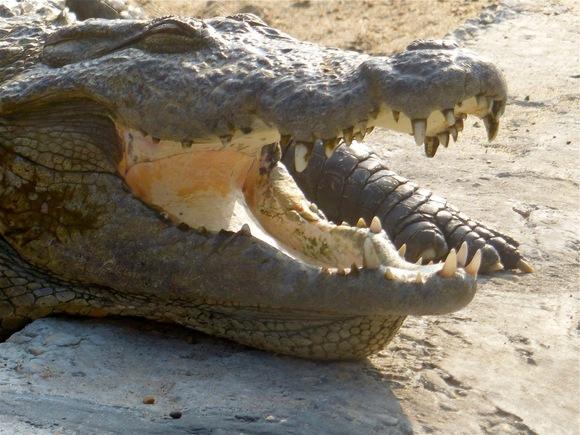 notre safari continue; des crocodiles sur notre route