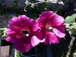 Roses trémières