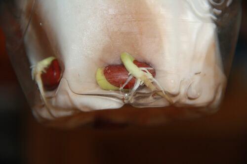 Faire pousser une haricot