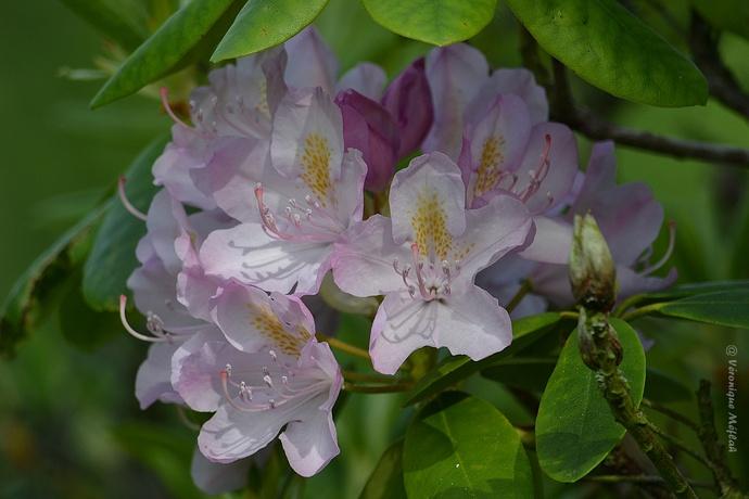 Rambouillet : Rhododendron ponticum