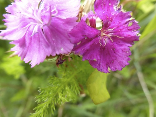Les fleurs de mon jardin cet été et plus...