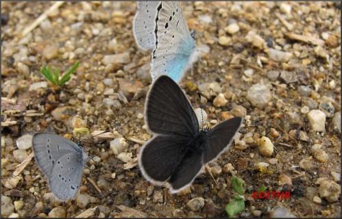 papillons (11)