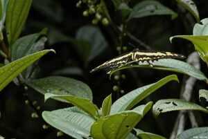 Papillionidae