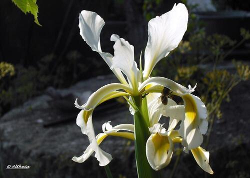Les iris sauvages