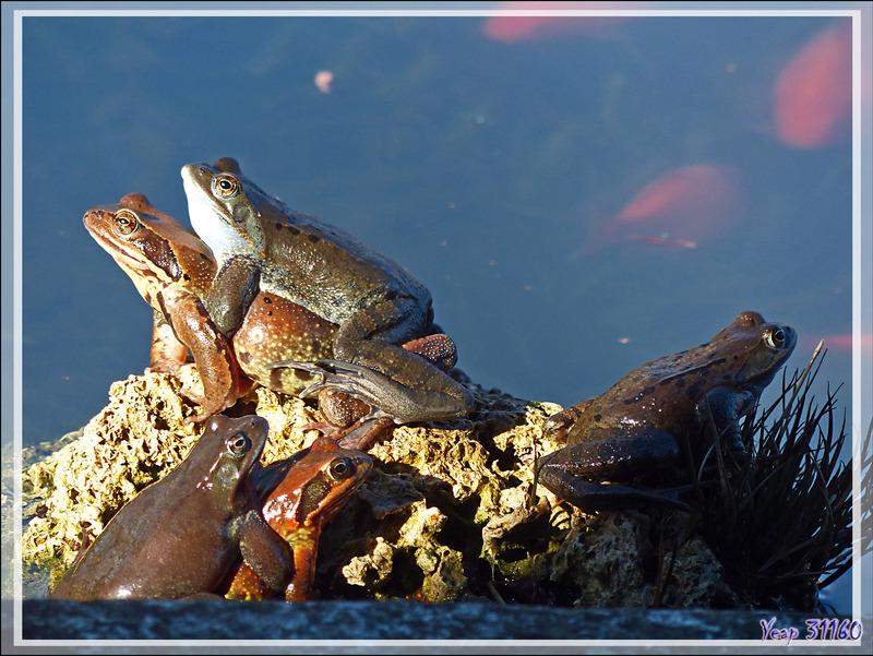 Les amours des grenouilles rousses (Rana temporaria) vues de ma fenêtre - Lartigau - Milhas - 31