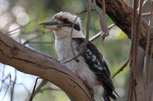 Martin-chasseur géant (Laughing Kookaburra) Victoria Australie