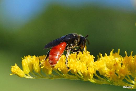 Sphecodes albilabris un Hyménoptère de la famille Alictidae