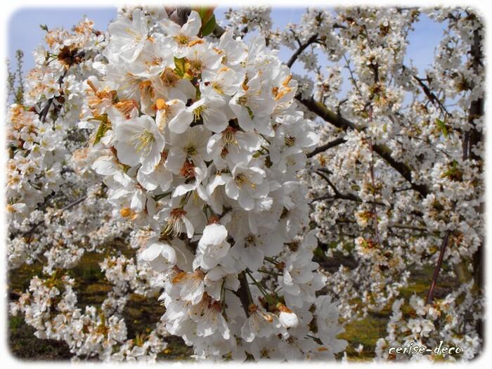 randonnée au coeur des verger de cerisiers