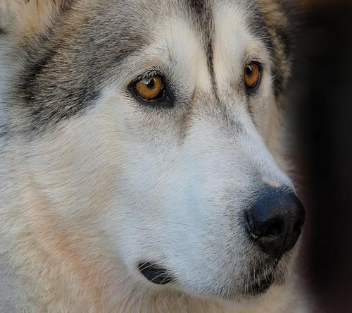 La balade du chien-loup-PPS-