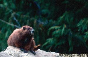 Marmotte de l'île de Vancouver Photo 1