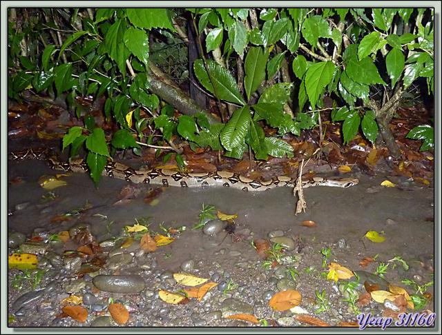Blog de images-du-pays-des-ours : Images du Pays des Ours (et d'ailleurs ...), Boa constrictor - Hôtel Cariblue - Playa Cocles - Puerto Viejo de Talamanca - Costa Rica