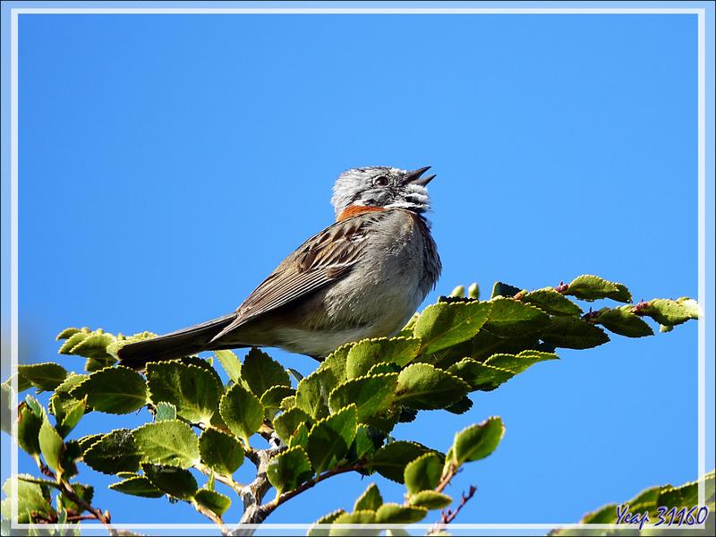 Bruant chingolo, Rufous-collared Sparrow (Zonotrichia capensis) - Terre de Feu - Argentine