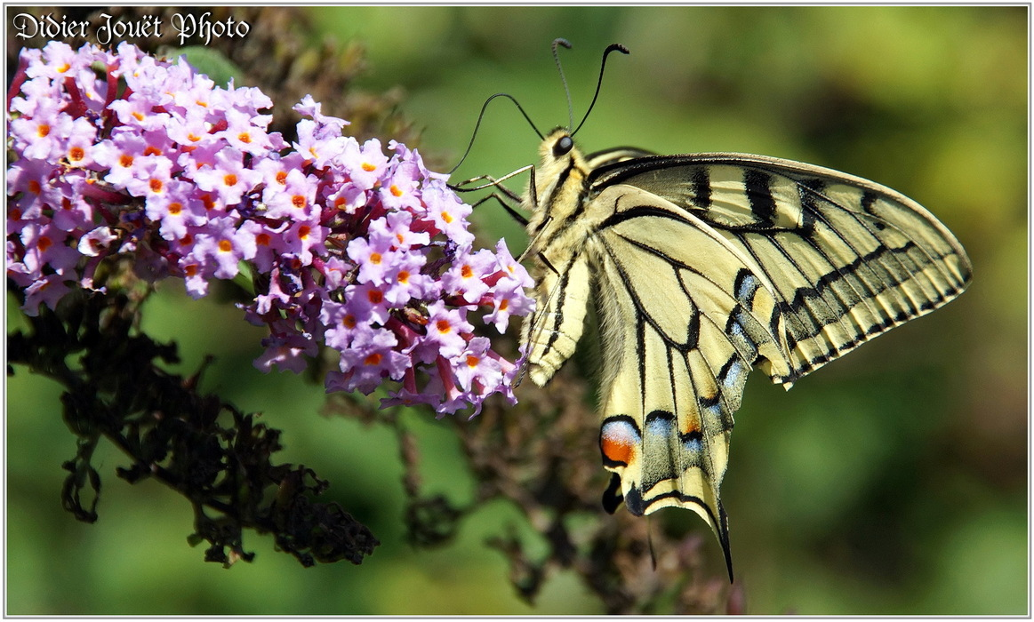 Machaon / Papilio machaon
