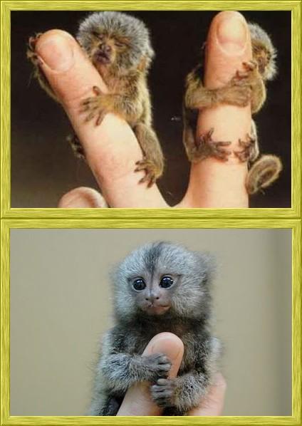 ouistiti pygmée