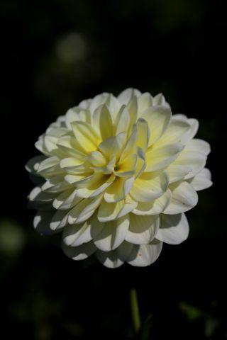 Dahlias : Vanilla