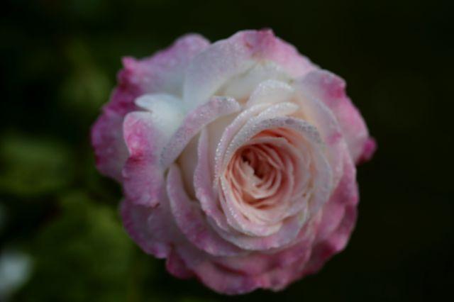 Concours international de Roses Nouvelles du Roeulx - 2019