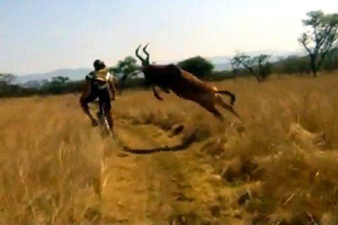 Une gazelle percute un cycliste en plain course - vidéo