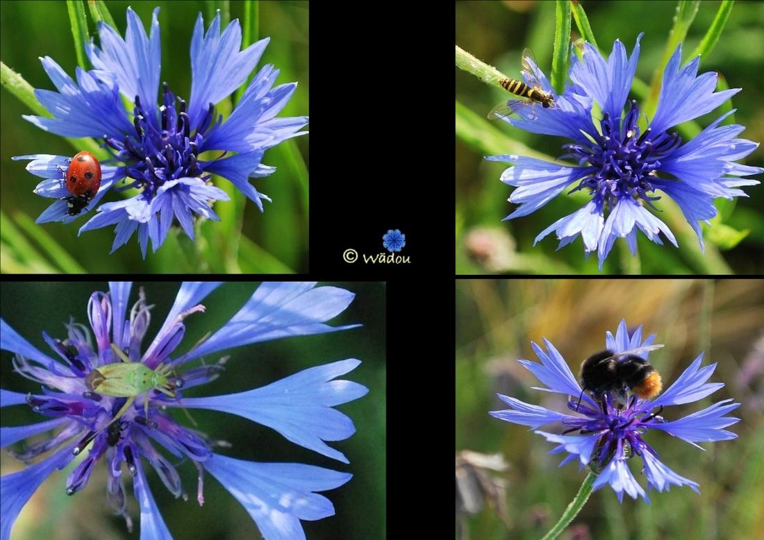 Le Bleuet  (Centaurea cyanus)  Asteraceae