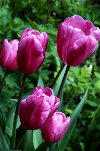 Tulipes 2021 : Jumbo Pink
