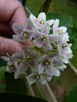 wattakaka de chine ou (dregea sinensis)