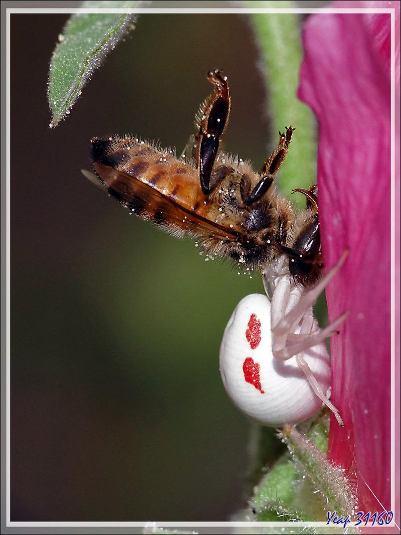 """J'ai retrouvé """"mon"""" Araignée crabe Thomise variable (Misumena vatia) grâce à sa proie et avec même un mâle à l'affût - Lartigau - Milhas - 31"""