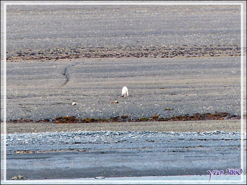 Vers 12 h 45 heures, bingo ! Un ours blanc est en train de manger quelque chose sur la grève - Creswell Bay - Somerset Island - Nunavut - Canada