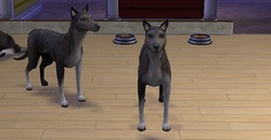(Larans Dogs): la 18ième génération et un nouveau phénotype !!