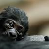 Ce bébé gorille est né au Zoo de Prague
