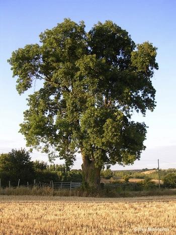 Mon arbre Totem: le Frêne