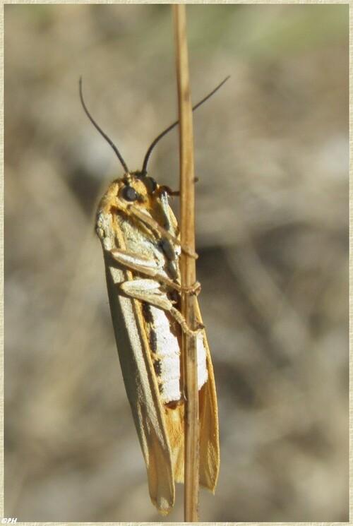 Papillon l'Ecaille