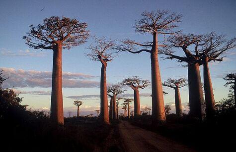 Morondava à Madagascar. La route des baobabs au soleil couchant, avril 1995