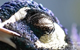 Paon bleu - p53