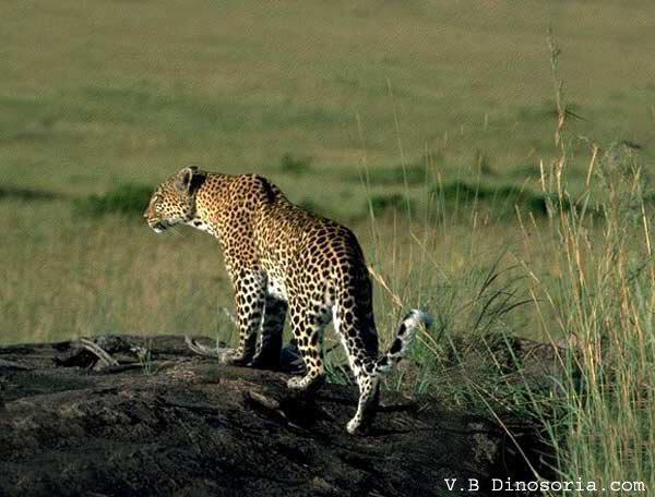 Panthere d'Afrique