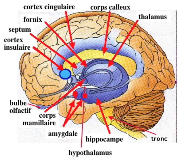 Notre cerveau émotionnel et les émotions spontanées..