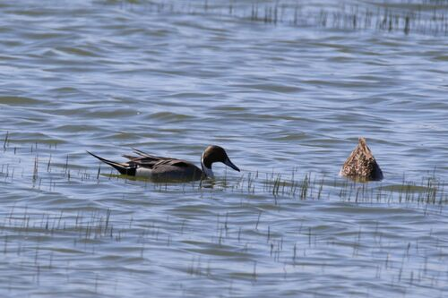 Canard Pilet (Northern Pintail)