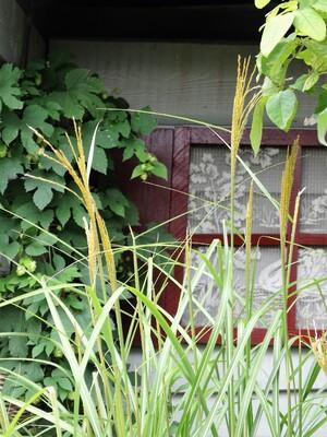 Le houblon doré (humulus lupulus)
