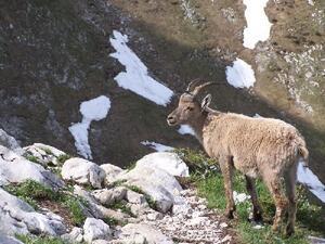 Bouquetin - Haute-Savoie - La Tournette