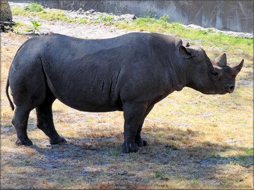 Photo de rhinocéros noir (Zoo du bassin d'Arcachon)