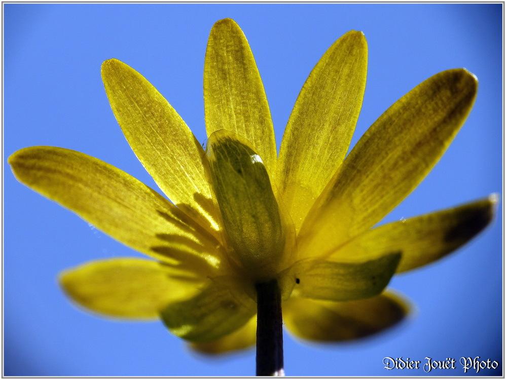 Renoncule Ficaire / Ranunculus ficaria