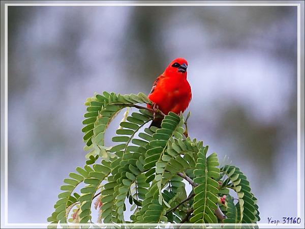 Foudi rouge, Red Fody (Foudia madagascariensis) - Nosy Tsarabanjina - Archipel des Mitsio - Madagascar
