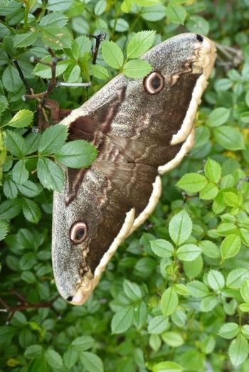 Papillon :