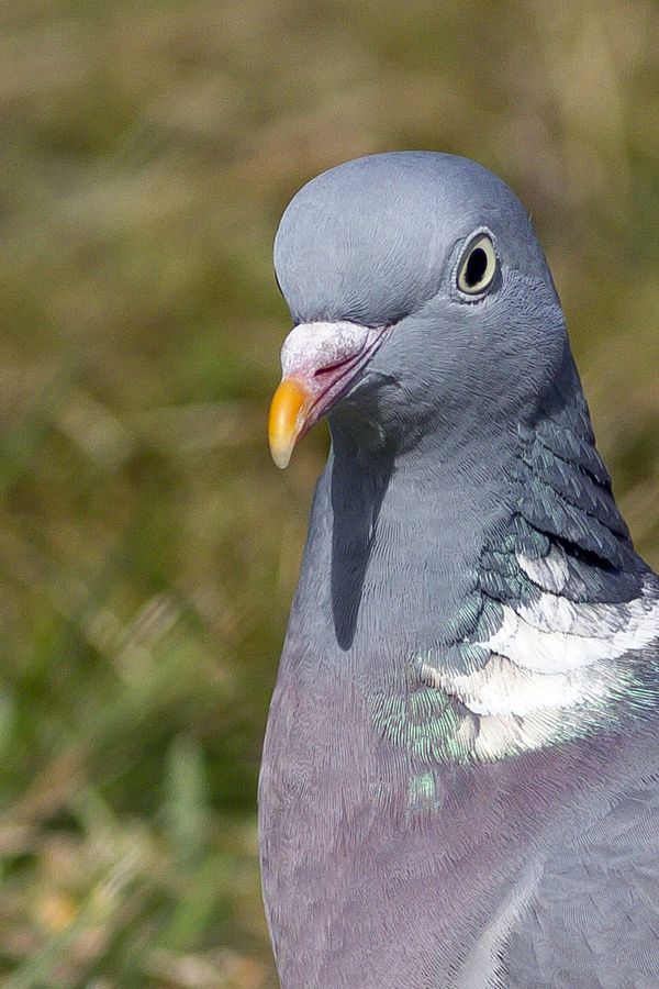 Pigeon ramier  (Columba palumbus - Common Wood Pigeon)