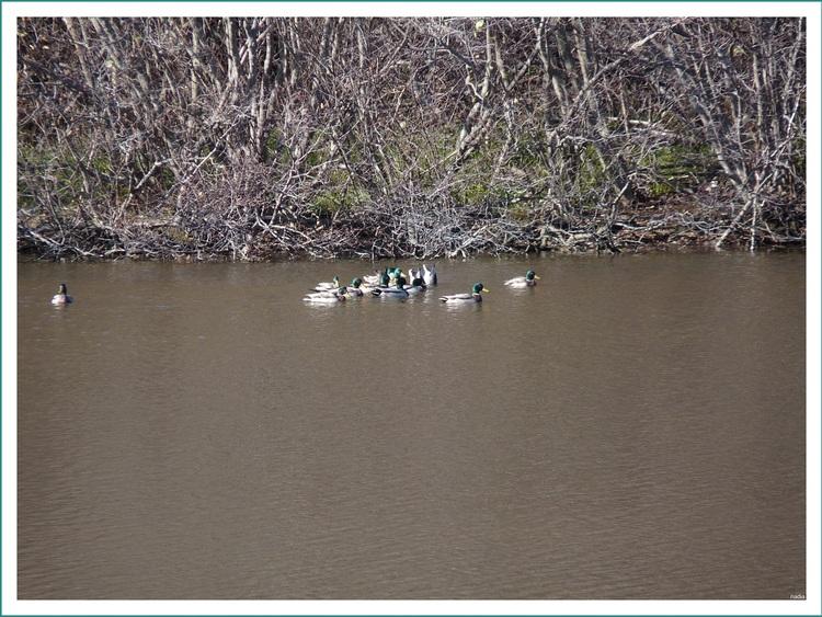 Canards colvert se promènent et se nourrisent sur et dans l'eau.