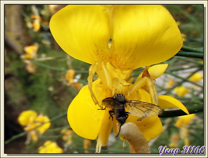 La thomise citron et la fleur de genêt - La Couarde-sur-Mer - Ile de Ré - 17