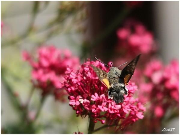 Papillons-1245-moro-sphinx.jpg