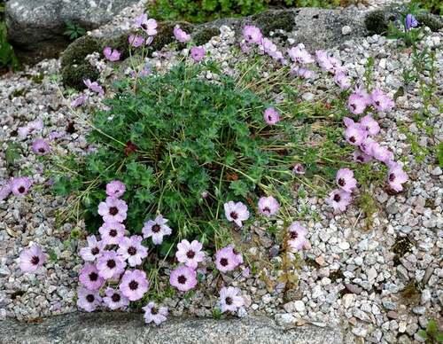 Fleurs cultivées : Géranium vivace