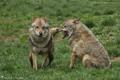 Les Loups de Courzieu