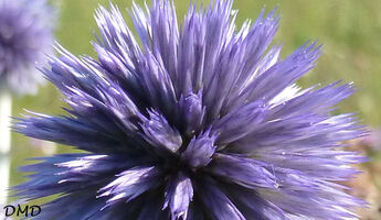 Echinops ritro - azurite - chardon bleu