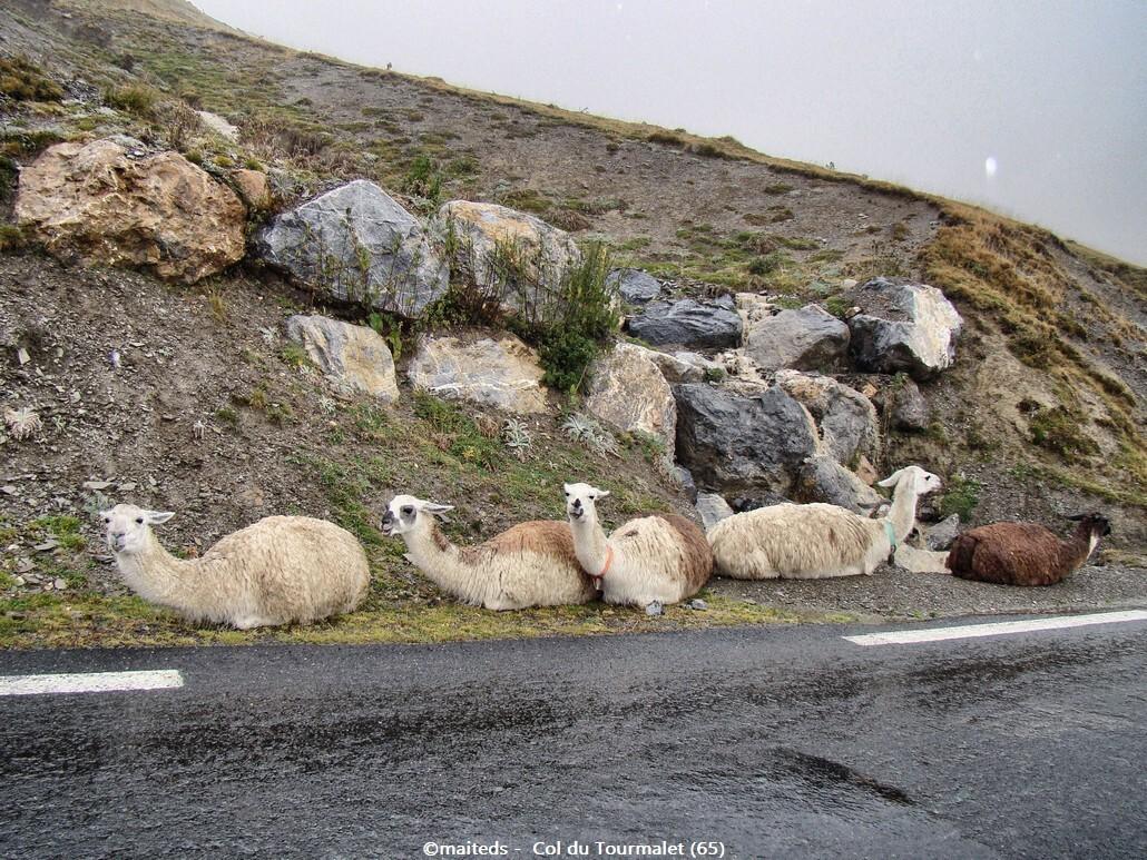 Lamas rencontrés en montant le Tourmalet (65)