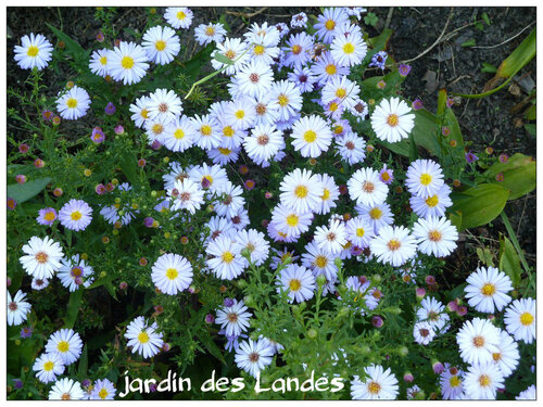 Les asters en septembre.